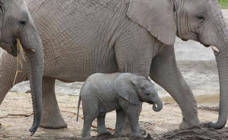 El crecimiento de un bebé elefante en peligro de extinción
