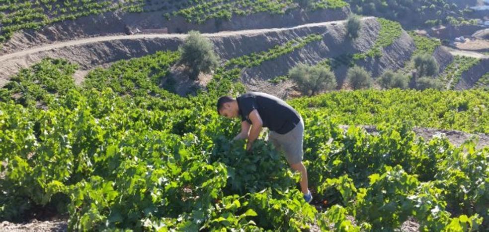 La Axarquía arranca una de las vendimias más tempranas y singulares de España