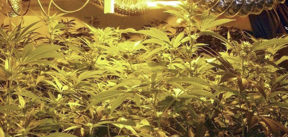 Cuatro detenidos y dos plantaciones de marihuana desmanteladas en Málaga capital