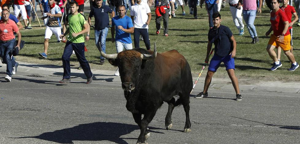 Un malagueño, herido grave en el encierro del Toro de la Vega en Tordesillas