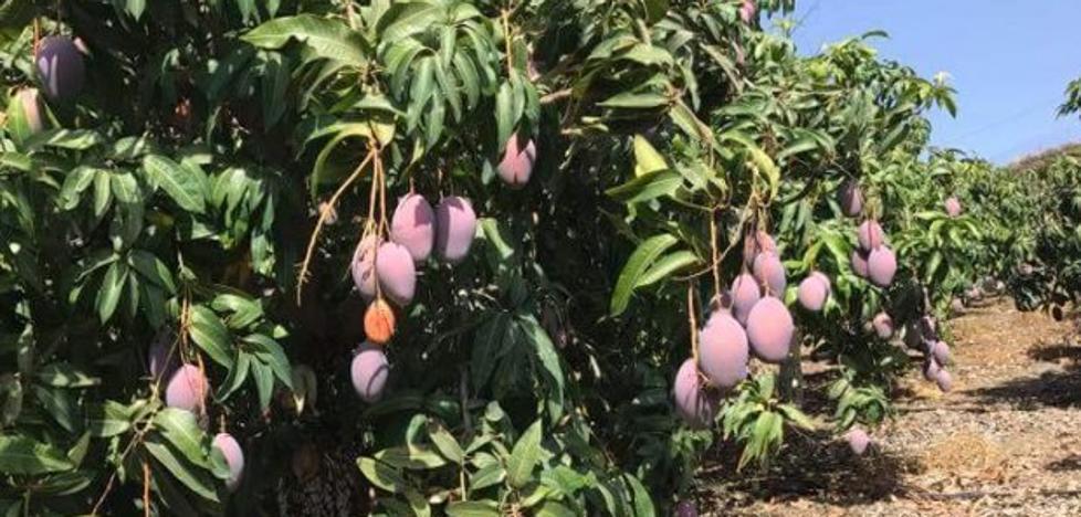 Arranca la cosecha del mango, la fruta exótica que lleva el nombre de Málaga por Europa