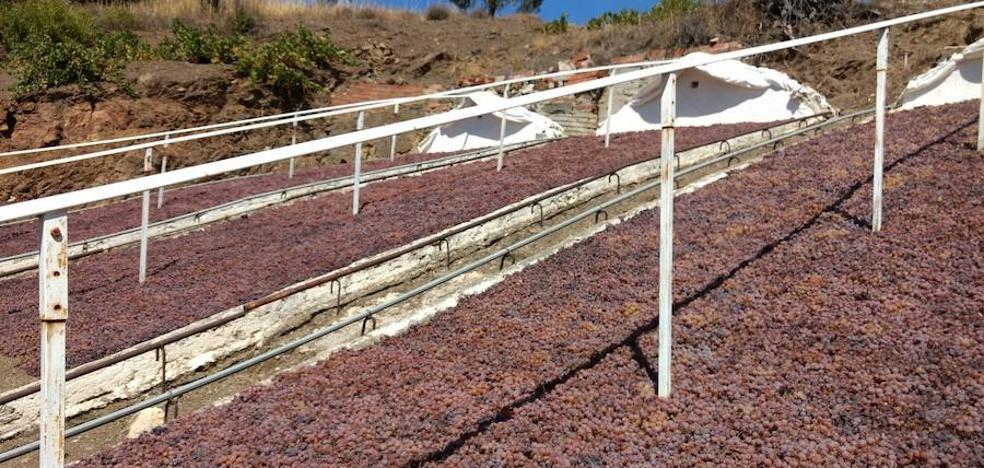 La sequía adelanta 15 días la campaña de la pasa moscatel en la provincia de Málaga
