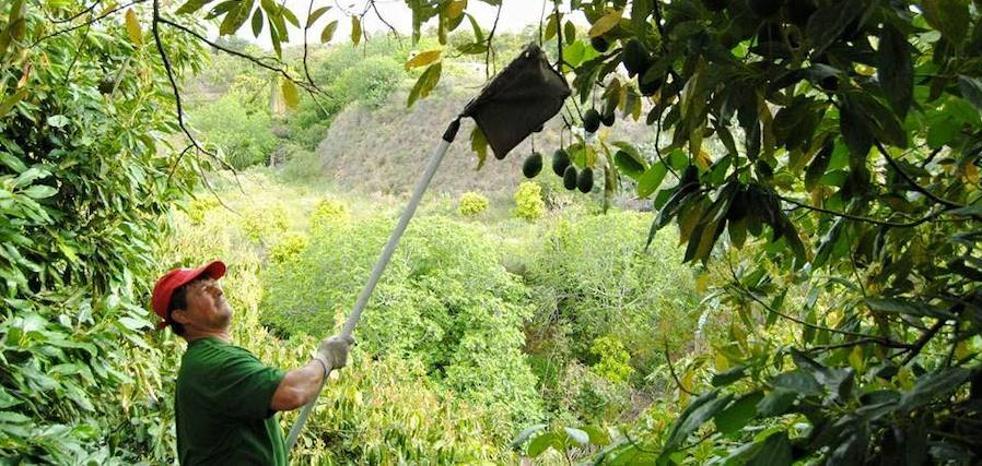 El inicio de la campaña del mango prevé superar en Málaga las 20.000 toneladas de producción del año pasado