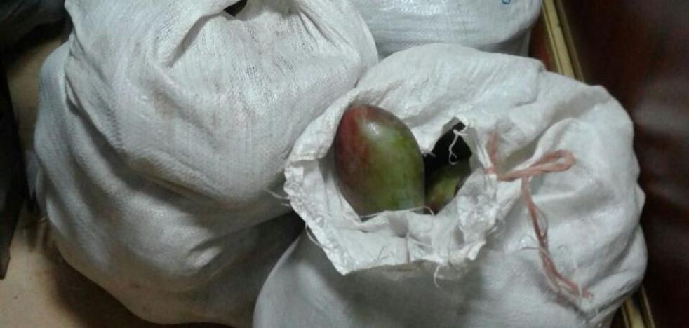 Sorprenden a cuatro jóvenes cuando robaban mangos en una finca de Benamargosa