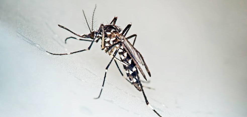 El mosquito 'invisible' se extiende como una plaga por los barrios de Málaga