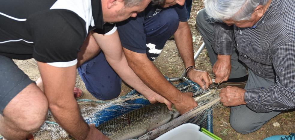 Atrapan tras varios intentos al pez cocodrilo de la Represa