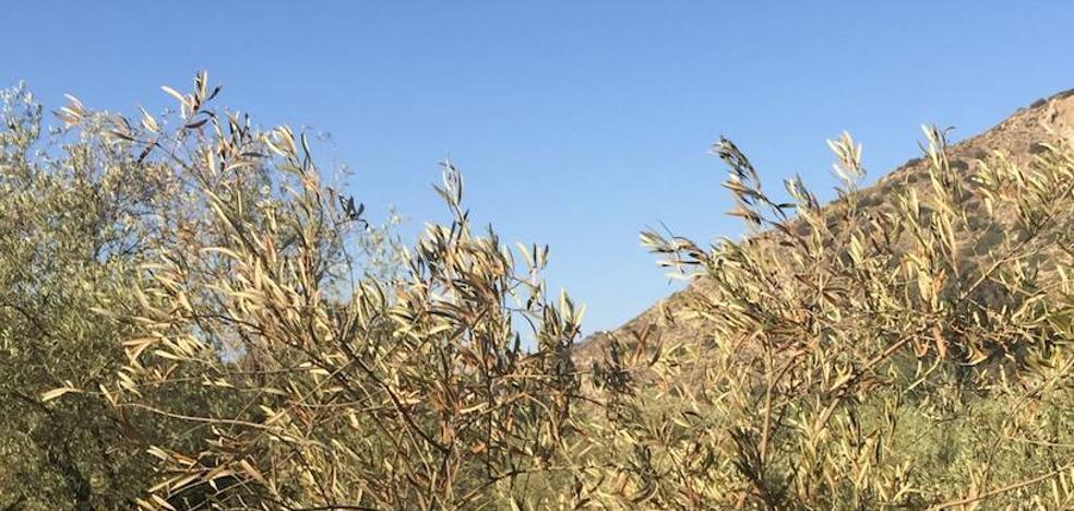 Productores estiman en un 25% las pérdidas de cosecha en el olivar de Málaga si sigue sin llover