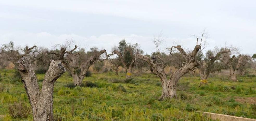El 'ébola del olivo', la bacteria que tiene en vilo al campo malagueño