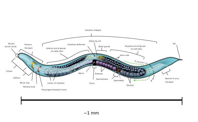 Reinvestigan un mecanismo genético en gusanos para explicar la dificultad de dejar de fumar