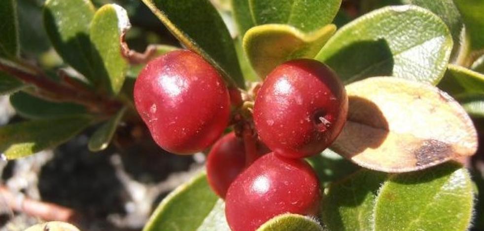 Gayuba o uva de oso, una planta cuya hoja alcanza los 40 euros el kilo