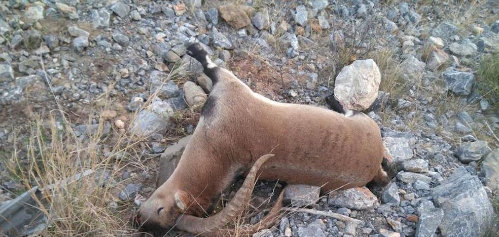 La Guardia Civil busca al autor de la muerte de una cabra montés en Churriana