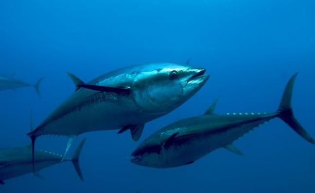 Vuelve el atún rojo