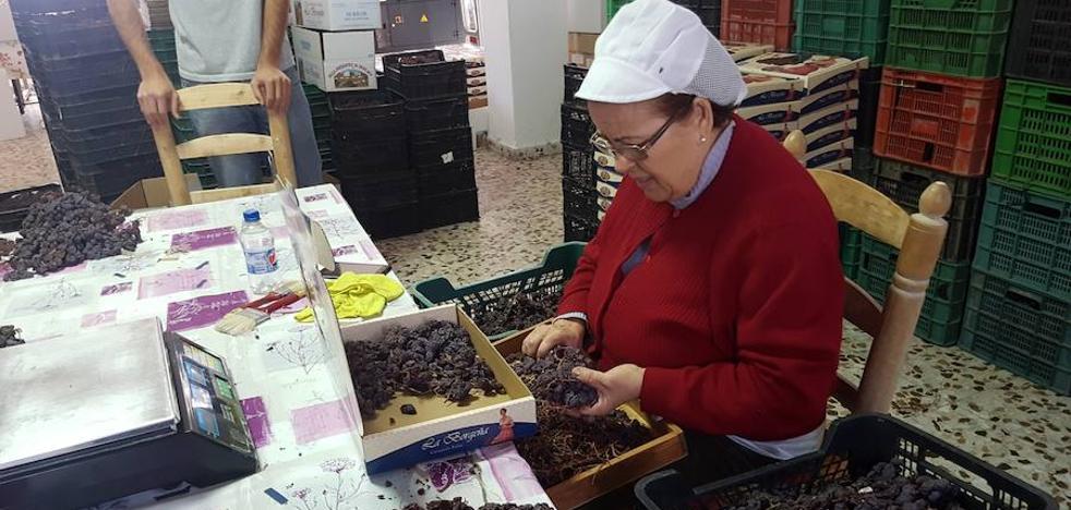 El sector coincide en que la FAO coloca en el mundo la pasa moscatel de Málaga