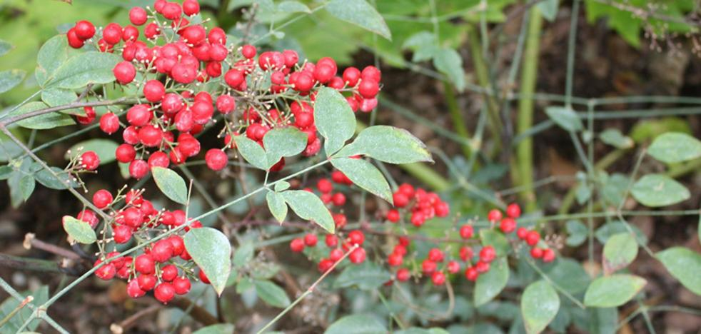 Curiosidades sobre la nandina, la planta navideña que reivindica su lugar