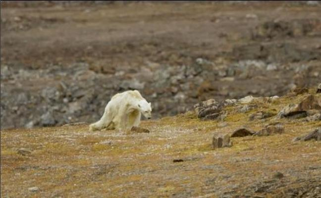 Graban la agonía de un oso polar hambriento para concienciar sobre el calentamiento global