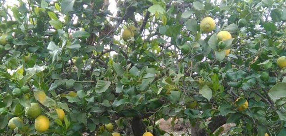 Limón dulce: una variedad centenaria al borde del olvido