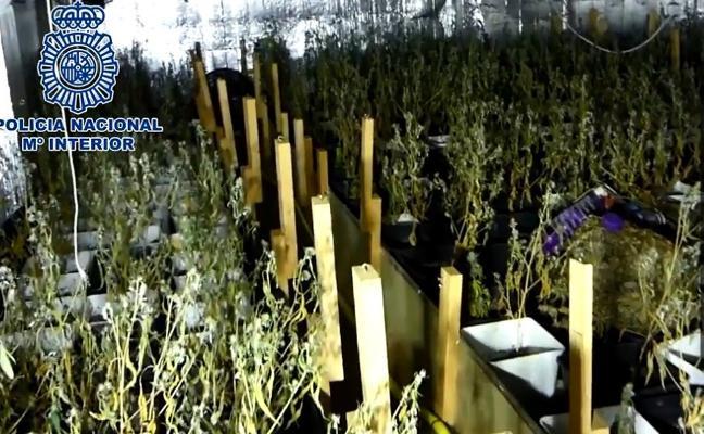 Un «fuerte olor a cannabis» permite intervenir 453 plantas de marihuana en un chalet de Marbella