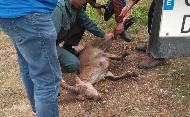 La muerte de cinco cabras monteses en un mes alerta a los vecinos de Churriana