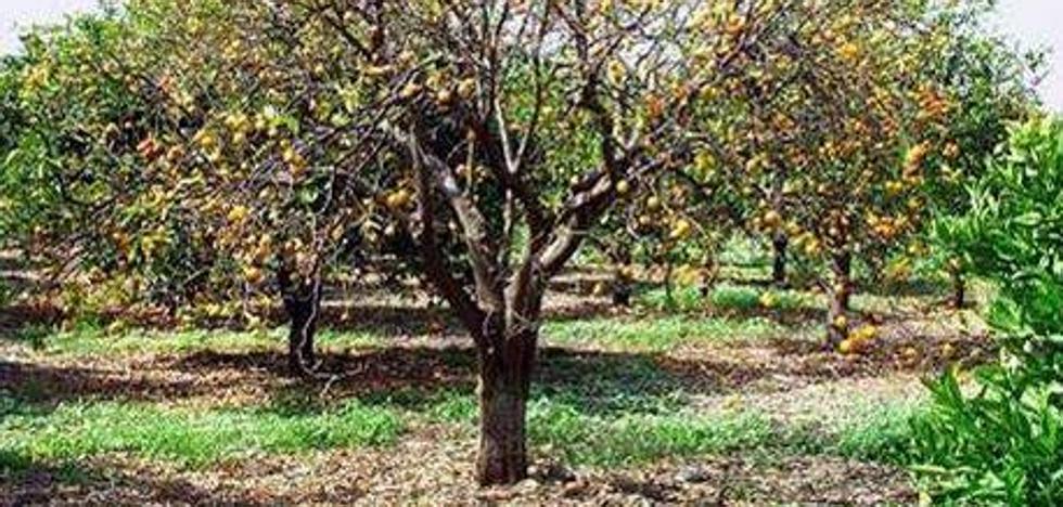 Agricultores malagueños afectados por el mal seco de los cítricos podrán pedir indemnizaciones