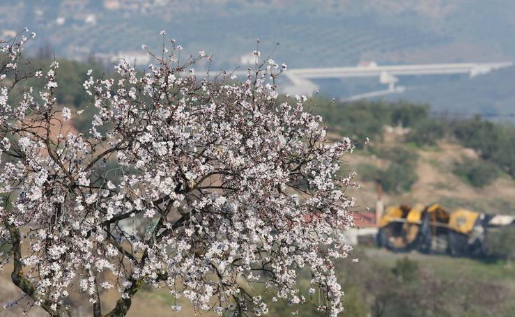 Los almendros comienzan a florecer en Málaga