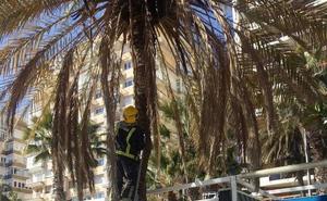 Herida una turista al caerle en la cabeza parte de una palmera en La Malagueta