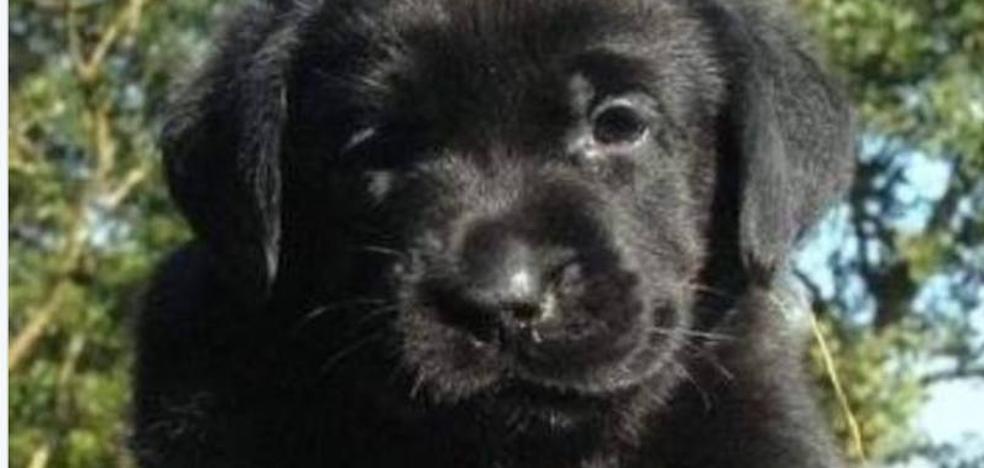 El bulo de los cachorros de labrador de color negro de Manuel