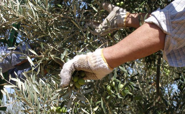 La producción andaluza de aceituna de mesa alcanza las 441.830 toneladas, un 4% más de lo previsto