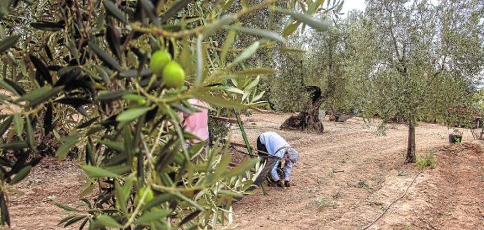Dcoop coordina con el Ifapa un grupo operativo para incrementar la productividad y sostenibilidad del olivar andaluz