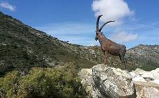 La Sierra de las Nieves recupera su cabra montés más fotografiada