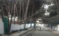 Un pino se desploma sobre el CEIP Palma de Mallorca de Torremolinos y reaviva la polémica por la seguridad del colegio
