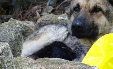 La Protectora de Málaga rescata a una pastor alemán con tres crías abandonada en El Chorro