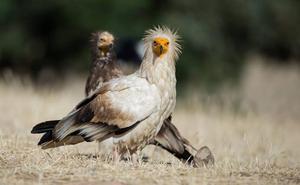 El alimoche, el ave en peligro de extinción que se puede ver aún en Málaga