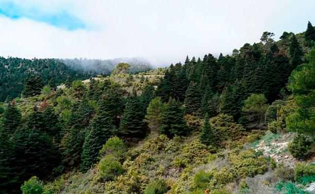 Advierten de que el cambio climático podría provocar la extinción del pinsapo