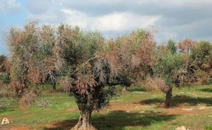 Detectan un caso de 'ébola del olivo' en plantas ornamentales en un vivero de El Ejido