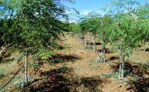 Nestlé y Gallina Blanca se interesan por la moringa ecológica que se cultiva en Málaga