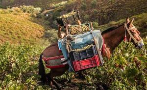 El PP considera que la distinción de la FAO a la uva pasa es un impulso para la Axarquía
