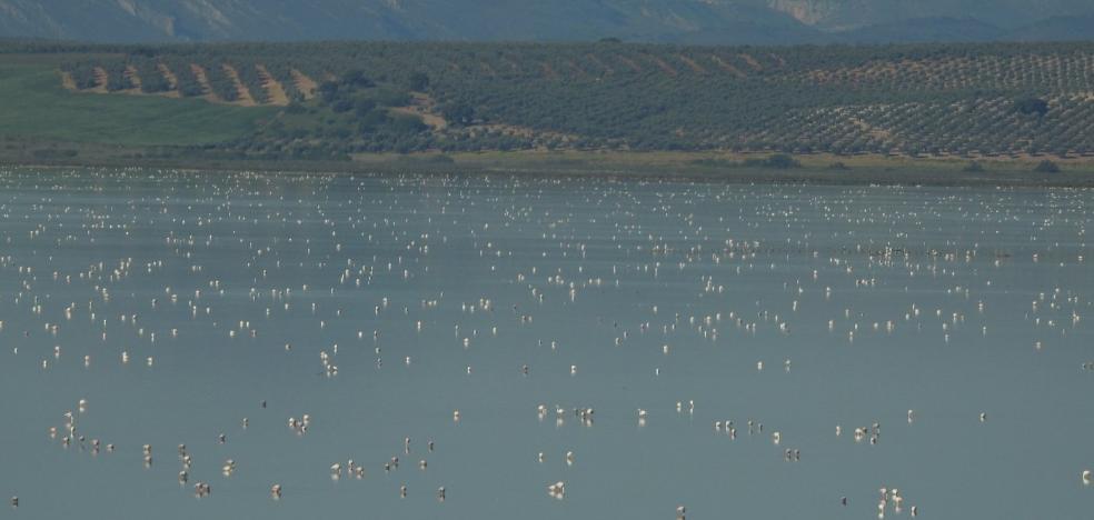 La Laguna de Fuente de Piedra alcanza el lleno absoluto de flamencos tras las lluvias