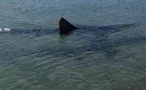 El tiburón de Fuengirola: un ejemplar sano e «inofensivo»