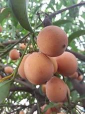 El achachairú, la exótica fruta tropical que acaba de llegar a Málaga