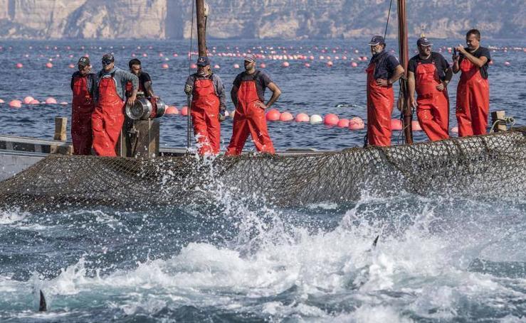 La pesca del atún rojo de Almadraba en Barbate