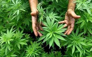 Desmantelan una plantación de marihuana en el sótano de una vivienda en Torremolinos