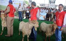 Agrogant y los toros, escaparates andaluces en la feria chica de Antequera