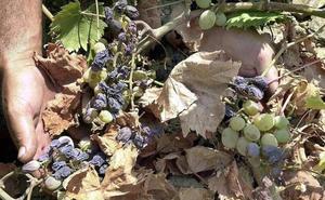 La uva pasa malagueña ya es un «superalimento»