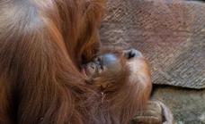 A baby Bornean orangutan is born at Bioparc Fuengirola