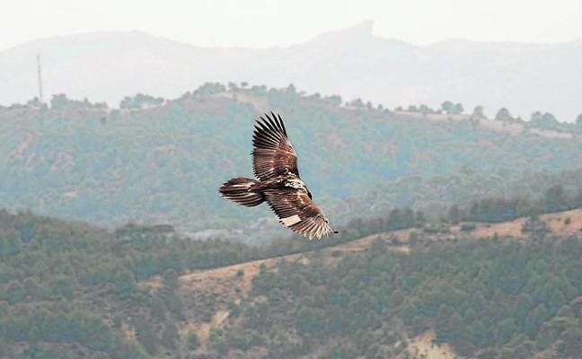 The spectacular recovery of the bearded vulture