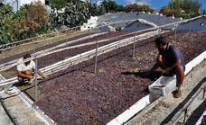 The art of producing Axarquía muscatel raisins