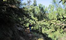 Rare pinsapo trees 'continue to be a green island within the general black of the Sierra Bermeja'