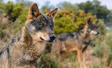Hunting wolves to be banned across the whole of Spain from tomorrow