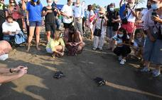 Loggerhead turtles released into the sea on Cabopino beach, Marbella