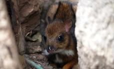 Video | A mouse-deer, the smallest hoofed mammal in the world, is born at Bioparc Fuengirola